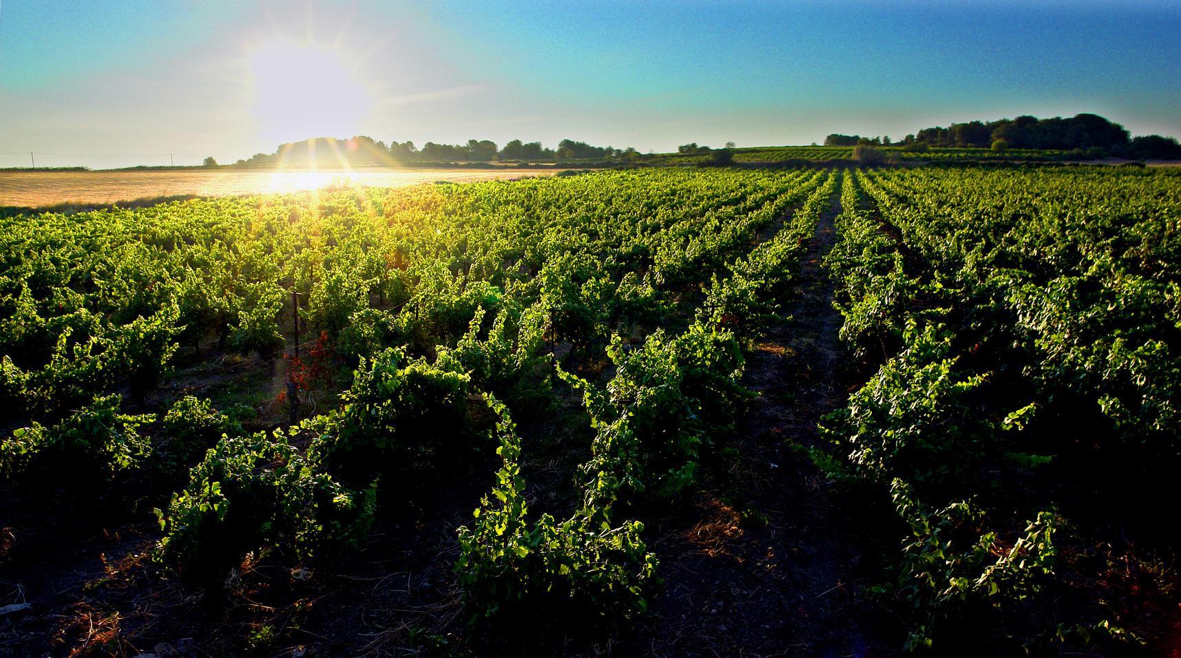languedoc vignes-2