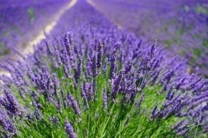 Best Time To See The Lavender Fields in Provence