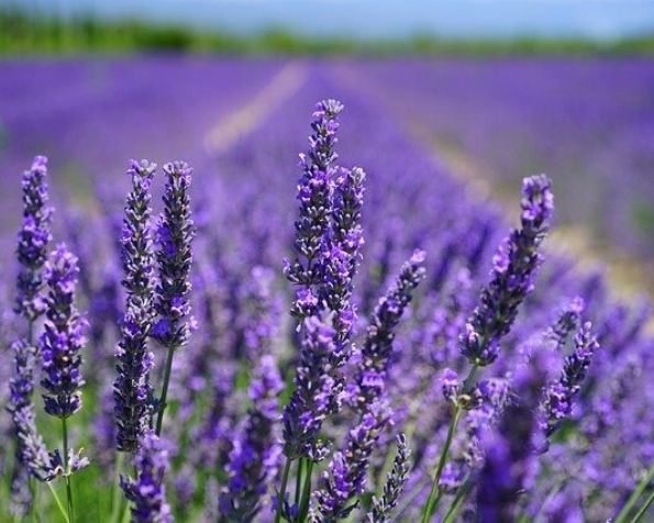 Best Time To See The Lavender Fields In Provence Tripusafrance